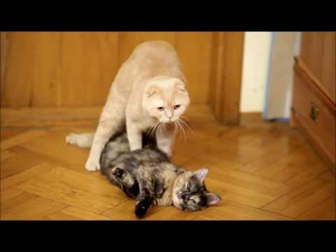 "cats-mating.-cat-""revives""-and-mates-his-girlfriend."