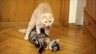 Repeat youtube video Cats mating. Cat