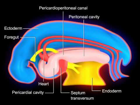 052609 Mvelkeyresp Development as well 15599821 in addition Crab likewise Watch as well Organs In The Pericardial Cavity Planes Sections And Cavities At Fayetteville Technical  munity. on 9 of the body cavities