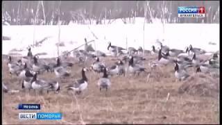 Стаи перелётных птиц задержались в Мезенском районе