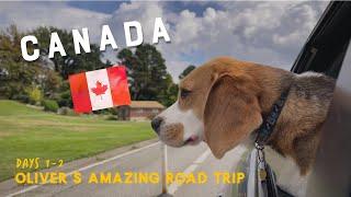 Lindo beagle va a Canadá