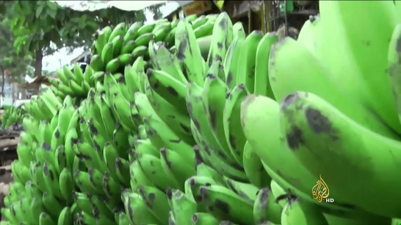 الجزيرة: بكتيريا تصيب الموز الأخضر في أوغندا