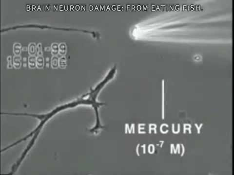 See what mercury in fish actually does to the brain for Why do fish have mercury