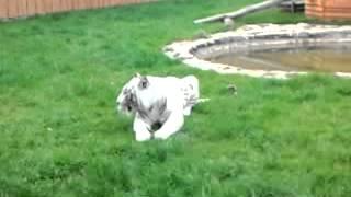 Atak tygrysa