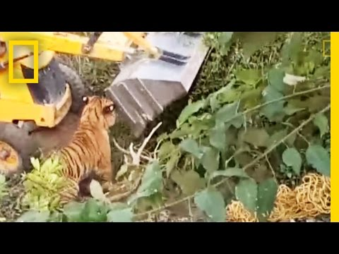 Capture Gone Bad? Was This Tiger Crushed to Death? | National Geographic