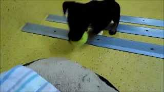 Adorable Puppy Fetch Training - Rspca Wacol, Queensland