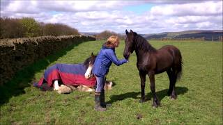 Friesian tells Clydesdale to get up