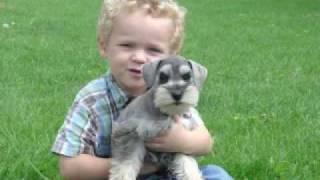 Lily Miniature Schnauzer Puppy