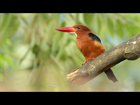 Getting Close To A White-throated Kingfisher