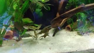 Paarungs Schwimmen bei den Zwergkugelfischen (Carinotetraodon travancoricus)