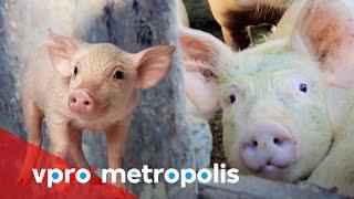 Bad pig farmer in Indonesia - vpro Metropolis