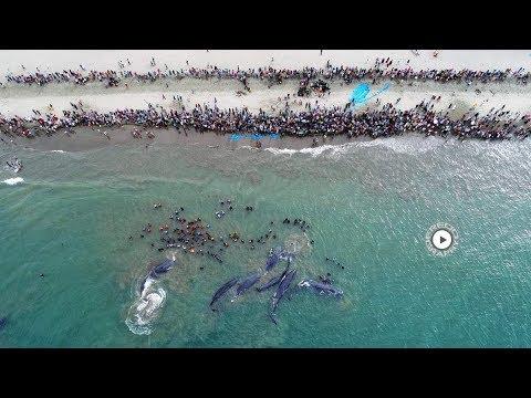 (Video Lengkap) evakuasi 9 paus (sperm whales) terdampar di Aceh
