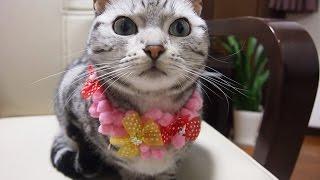 3年ぶりの首輪にあいかわらず戸惑いまくりな猫 ~初めての首輪をまたつけてみた!-Cat hate the collar from kitten to Cat thumbnail