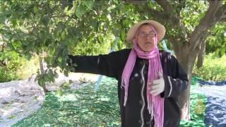 هذا الصباح-موسم جني أزهار النارنج في تونس