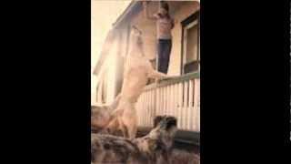 Największe psy na świecie/The biggest dogs in the world