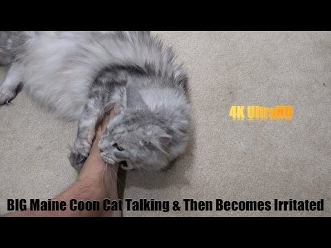 BIG Maine Coon Cat Talking BUT Then Quiet Due to NDA