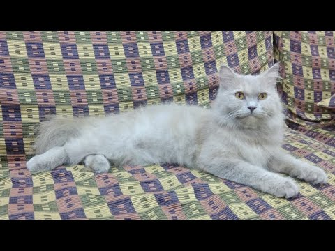 Persian Cats - Facts and History