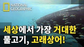 스쿨버스 보다 몸이 긴 고래상어가 플랑크톤만 먹고 산다?