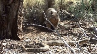 squirrel vs rattle snake