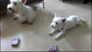 Smart scotty dog terrier opening gifts. Herbert the Scottie dog cle...