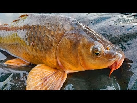 How to catch carp during the spawn - carp bait, carp rigs and tips and techniques.