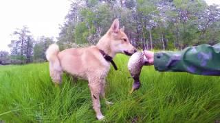 Щенок лайки, охота 1