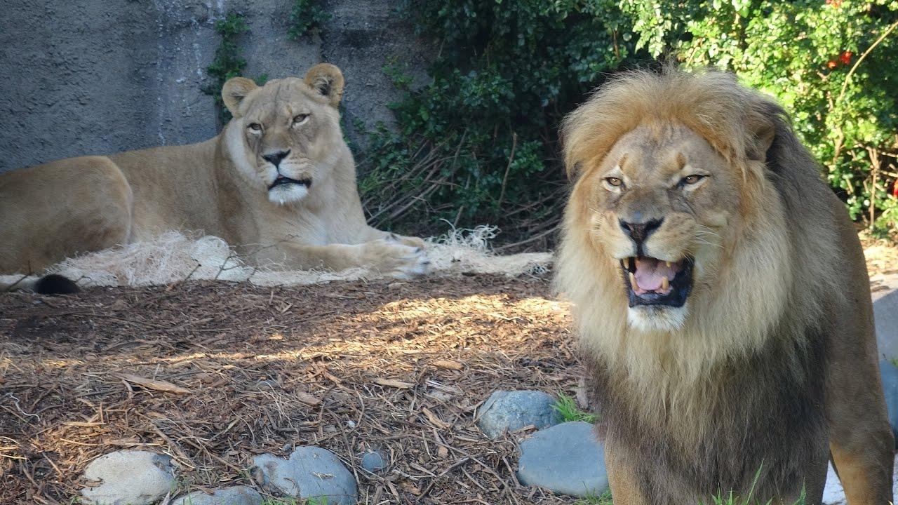angry lion vs tiger