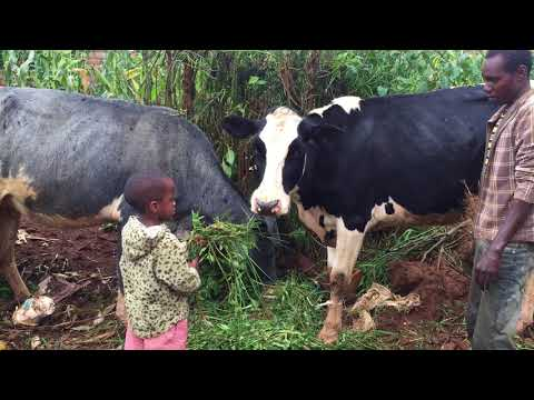 Murindi cows Jan2018,