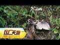 《农广天地》 20180411 秘境中的鸡枞菌和保山黑猪 | CCTV农业