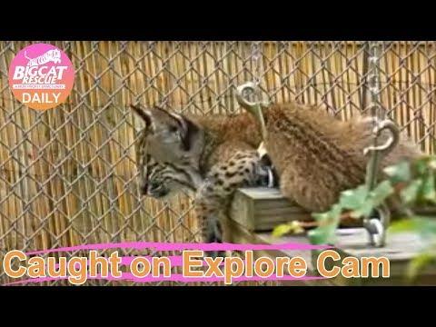 Bobcat Rehab~ Baby Bobkittens Ash and Cinder 6.26.2019