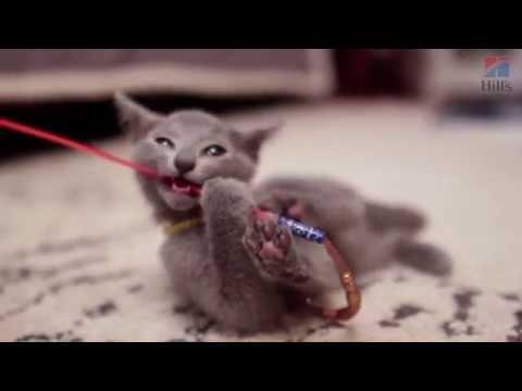 голубая русская кошка описание фото