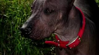 Порода собак. Ксолоитцкуинтли. Мексиканская голая собака. Удивительная порода собак
