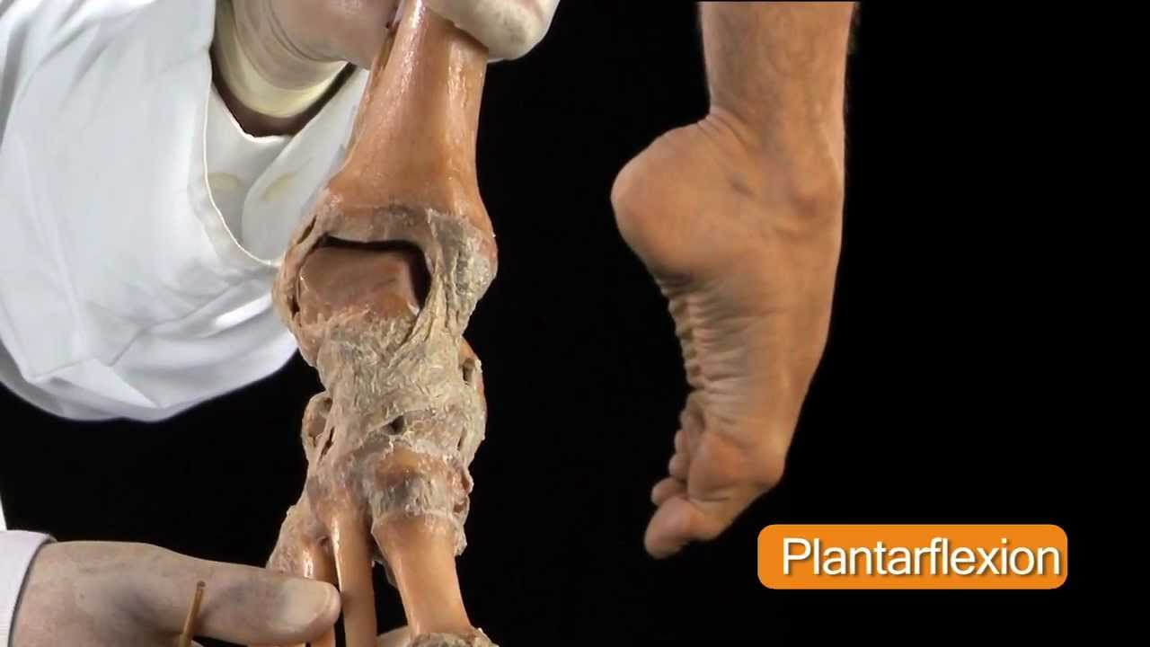 Ankle Joint - Anatomy Tutorial - YouTube
