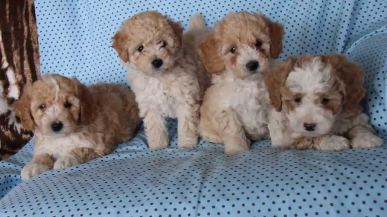 Bich Poo Puppies Wwwgreenfieldpuppiescom Youtube