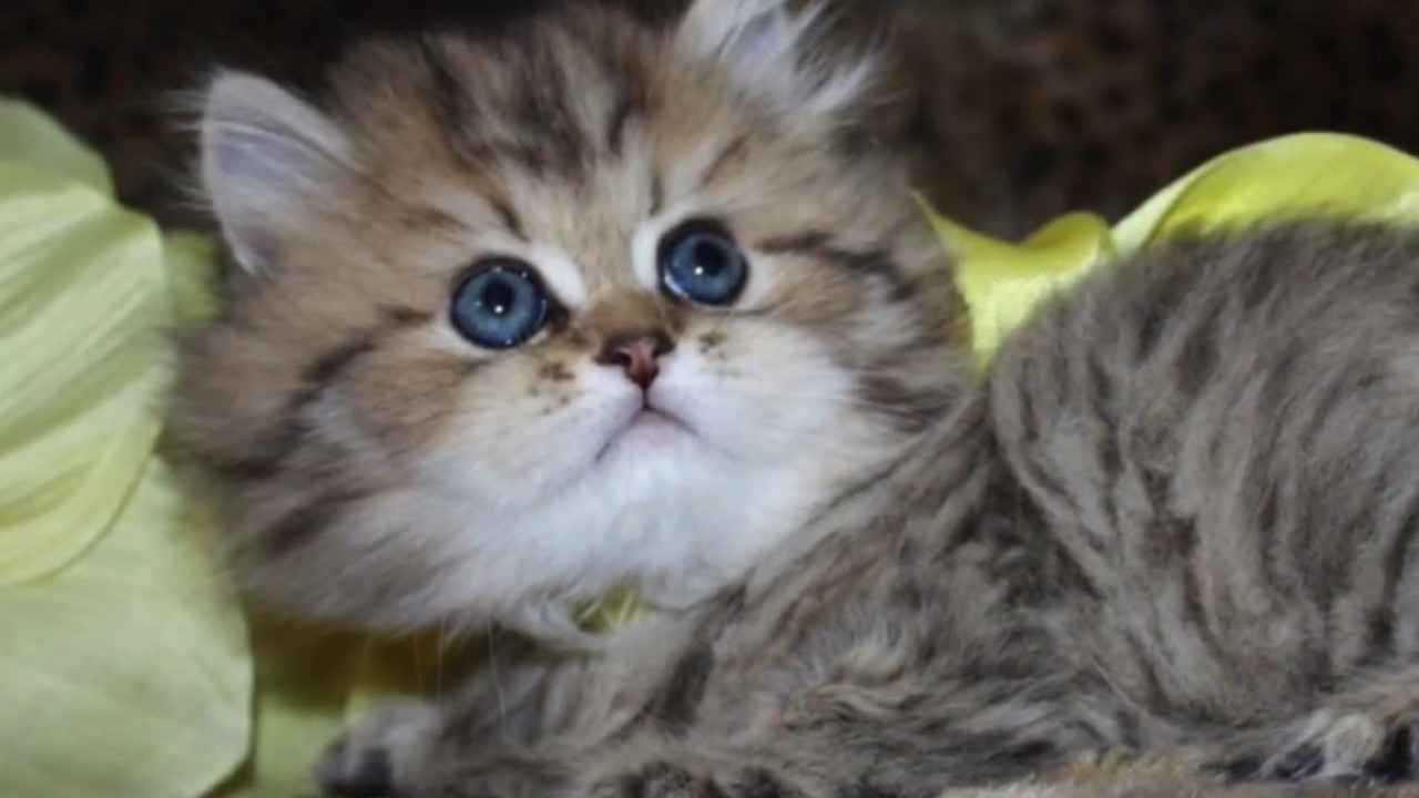 Watch a Persian Kitten Grow! Golden Teacup Persian Kittens For Sale at  CatsCreation com!