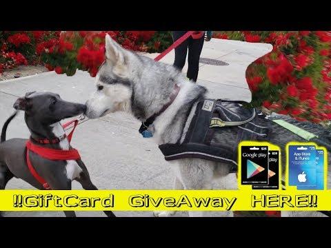 Siberian Husky Meets Jenna Marbles Dog | GIFTCARD GIVEAWAY | Italian Greyhound