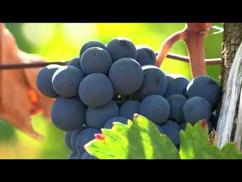 هذا الصباح- العنب.. فاكهة الأبرار في الجنة  - 11:22-2018 / 6 / 14