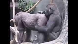 Любовь обезьян 2 SEXUAL ORIGINAL FUNNY