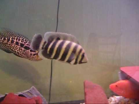 Jaguar cichlid vs red devil cichlid managuense vs red for Red devil fish for sale