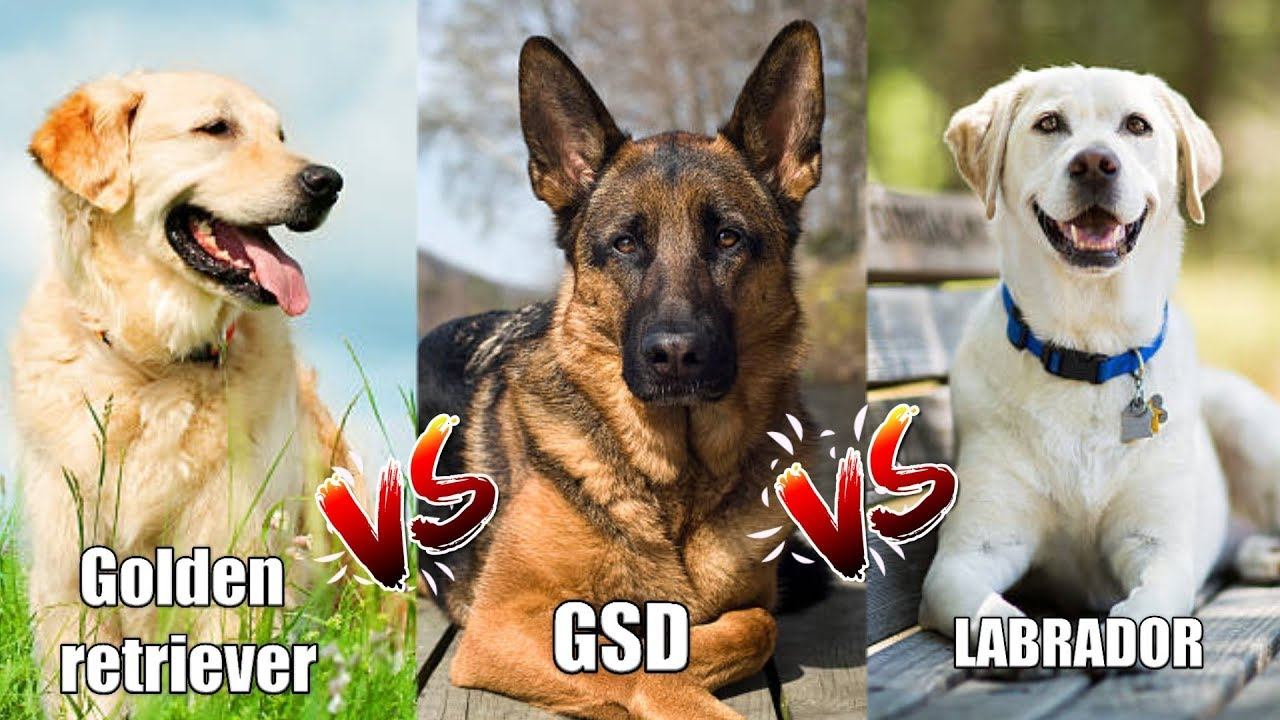 Labrador Retriever Vs German Shepherd Vs Golden Retriever In Hindi