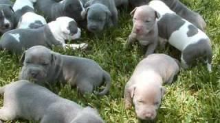 Blue puppies and gray grey pitbull puppy 3 week old www.titanpitbulls.com
