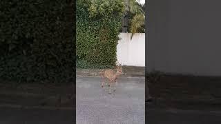 Et encore un chevreuil dans les rues de l'agglo de Pau !