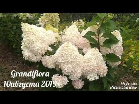 10августа2019 Высокорослая Метельчатая Гортензия Grandiflora 🤗✌️