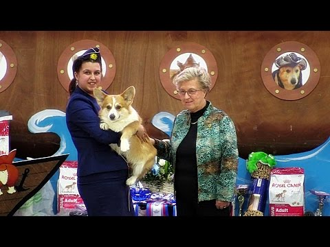 """Welsh corgi pembroke. Dog - """"Winner"""" class at the Russian Club National Specialty show 2017."""