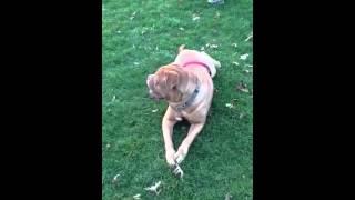Titan Playing French Mastiff Dogue De Bordeaux