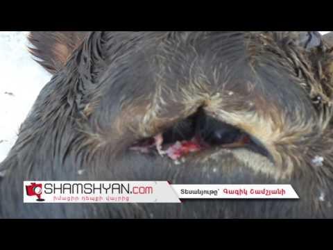 Արտակարգ դեպք Արագածոտնի մարզում. Քուչակ գյուղում կովը երկգլխանի հորթ է ծնել