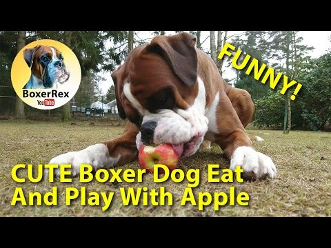 CUTE Boxer Dog Eat And Play With Apple - FUNNY DOG!