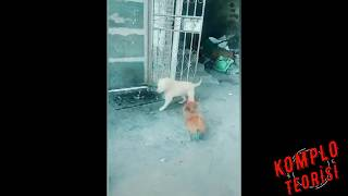 HOROZ VE KÖPEK KAVGALARI KOMİK - Chicken VS Dog Fight - Funny Dog Fight Videos