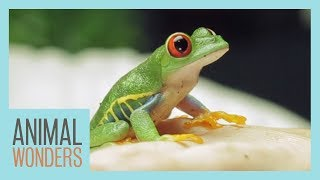 Goma The Red Eyed Tree Frog