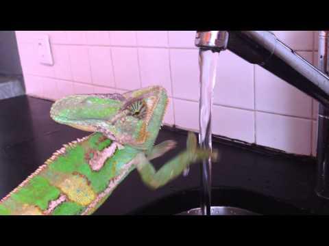 Chameleon washing his hands!    Viral Video UK